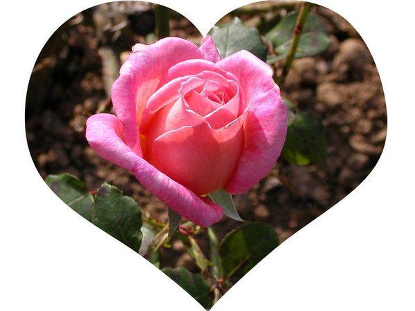 """Résultat de recherche d'images pour """"Les roses"""""""